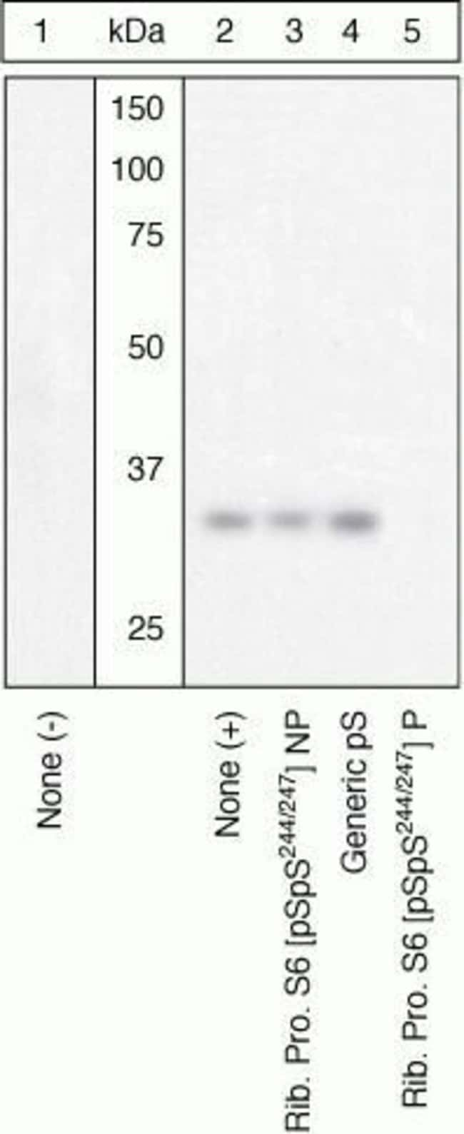 Phospho-S6 (Ser244, Ser247) Rabbit anti-Human, Polyclonal, Invitrogen