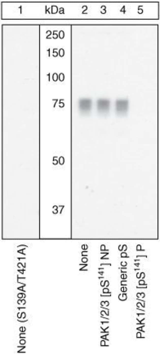 Phospho-PAK1/2/3 (Ser141) Rabbit anti-Human, Polyclonal, Invitrogen  100