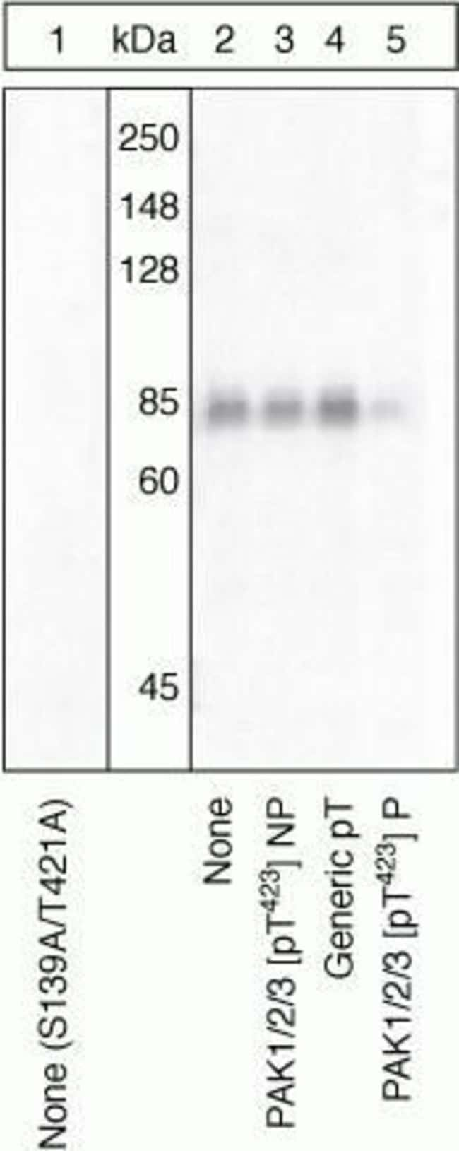 Phospho-PAK1/2/3 (Thr423) Rabbit anti-Human, Polyclonal, Invitrogen  100