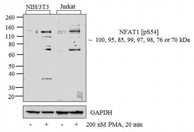 Phospho-NFATC2 (Ser54) Rabbit anti-Human, Mouse, Polyclonal, Invitrogen