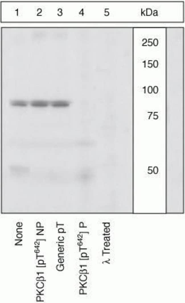 Phospho-PKC beta-1 (Thr642) Rabbit anti-Human, Polyclonal, Invitrogen