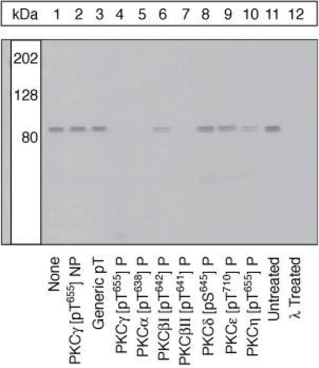 Phospho-PKC gamma (Thr655) Rabbit anti-Human, Mouse, Polyclonal, Invitrogen