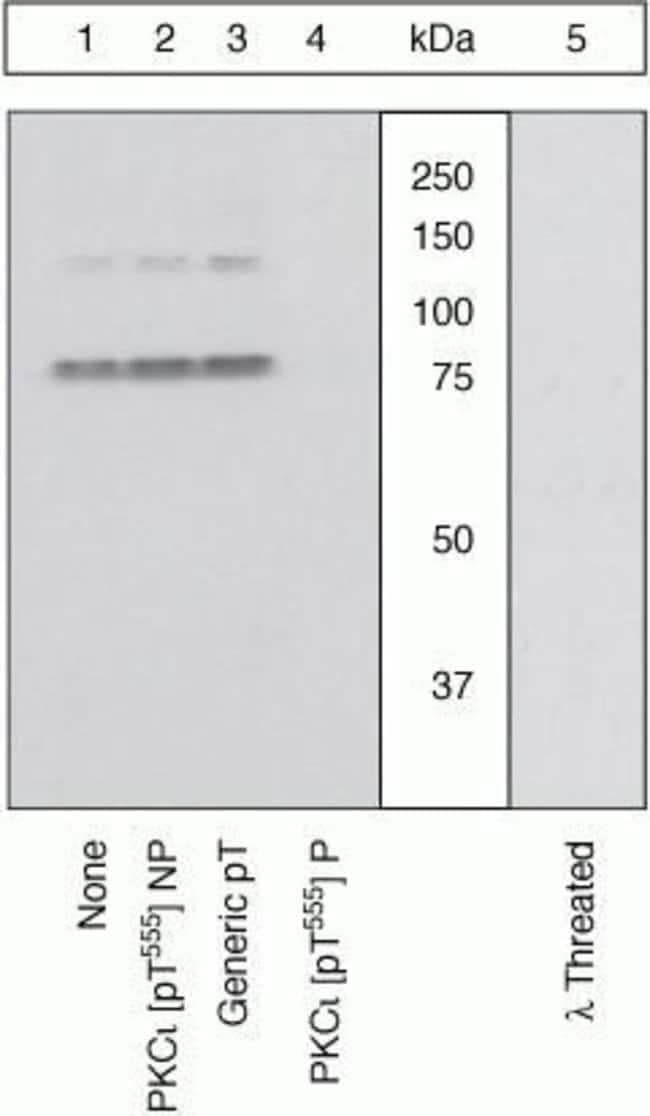 Phospho-PKC lambda/iota (Thr555, Thr563) Rabbit anti-Human, Mouse, Polyclonal,