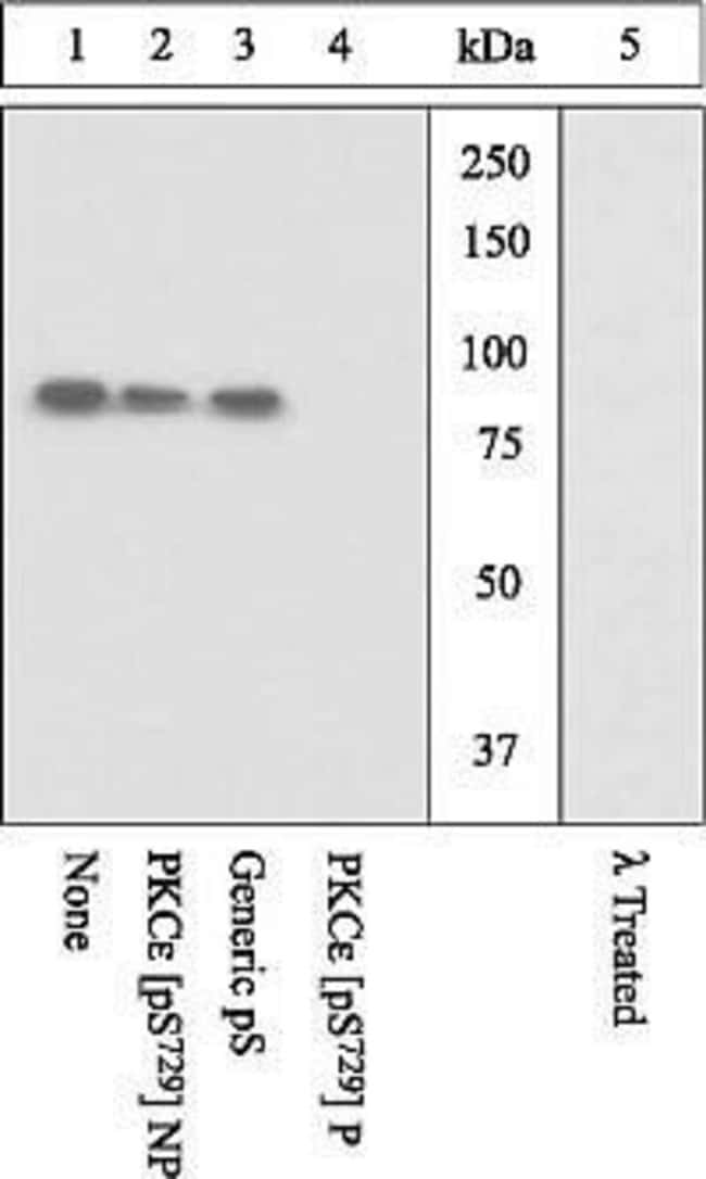 Phospho-PKC epsilon (Ser729) Rabbit anti-Human, Mouse, Polyclonal, Invitrogen