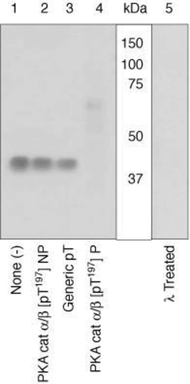 Phospho-PKA alpha/beta (Thr197) Rabbit anti-Human, Mouse, Polyclonal, Invitrogen