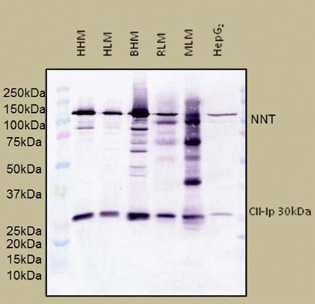 NNT Mouse anti-Bovine, Human, Mouse, Rat, Clone: 8B4BB10, Invitrogen
