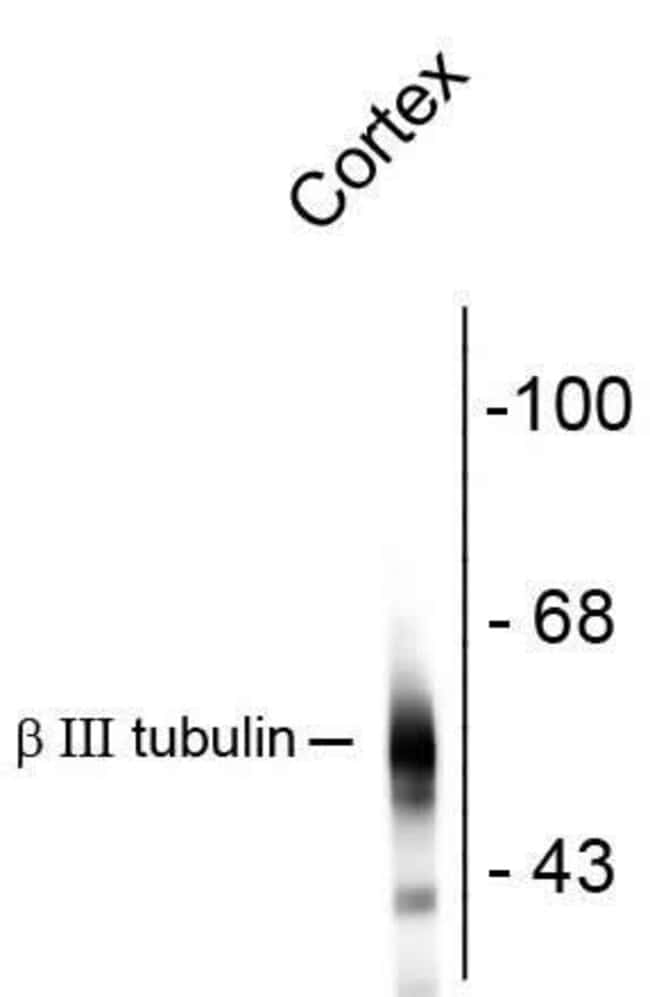 beta Tubulin Mouse anti-Bovine, Human, Mouse, Rat, Clone: AA10, Invitrogen