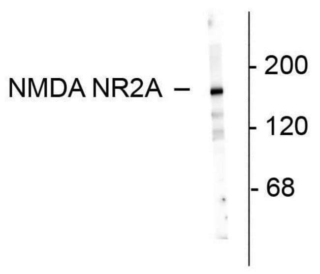 NMDAR2A Rabbit anti-Rat, Polyclonal, Invitrogen   100 µL; Unconjugated