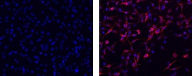 Vimentin, eFluor 660, clone: V9, eBioscience™ 100μg; eFluor 660 Primary Antibodies V