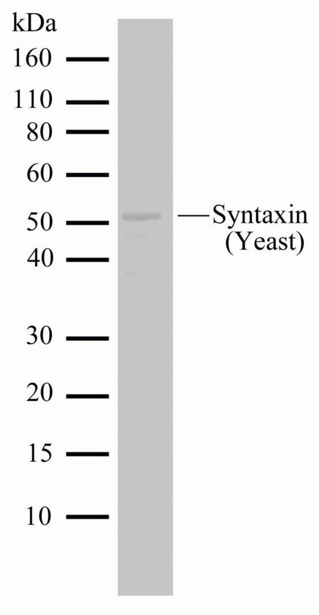 PEP12 Rabbit anti-Yeast, Invitrogen 100 µg; Unconjugated
