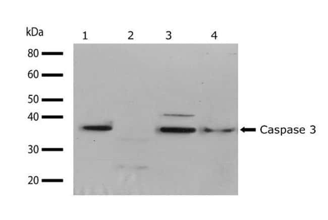 Caspase 3 Rabbit anti-Human, Invitrogen 100 µg; Unconjugated