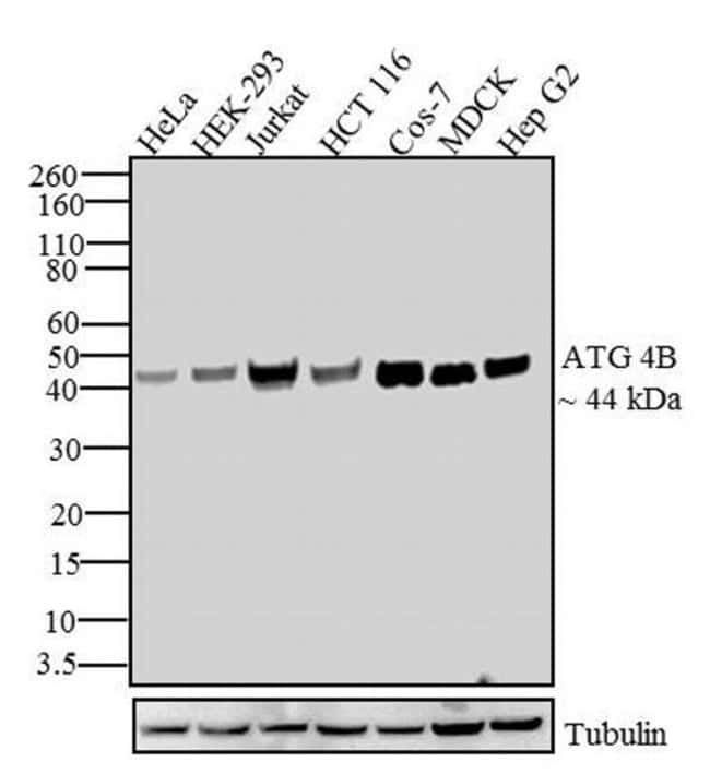 ATG4B Rabbit anti-Human, Invitrogen 100 µg; Unconjugated