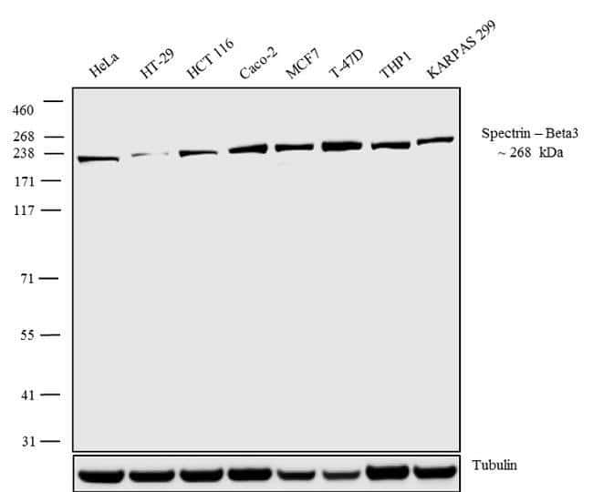 Spectrin beta-3 Rabbit anti-Human, Mouse, Invitrogen 100 µg; Unconjugated