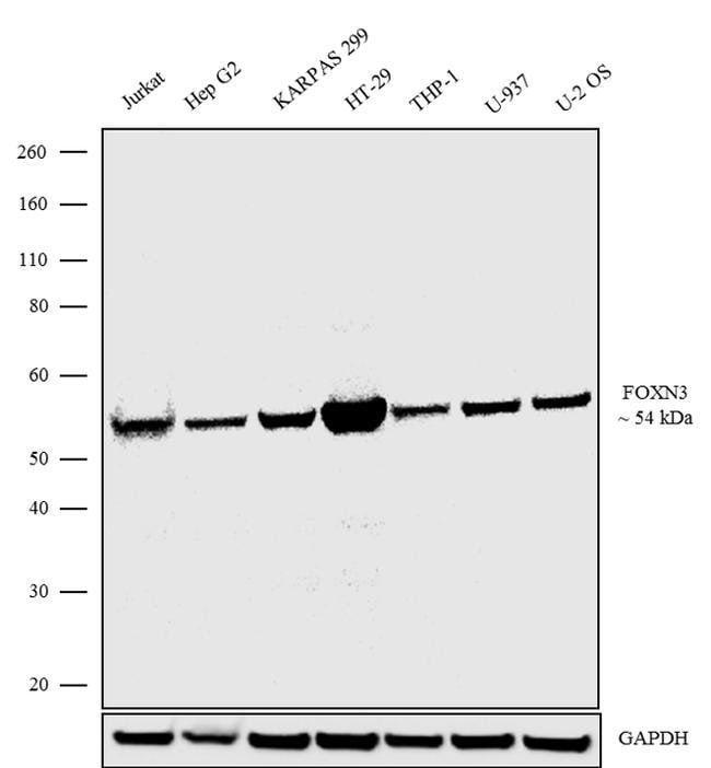 FOXN3 Rabbit anti-Human, Invitrogen 100 μg; Unconjugated:Antibodies