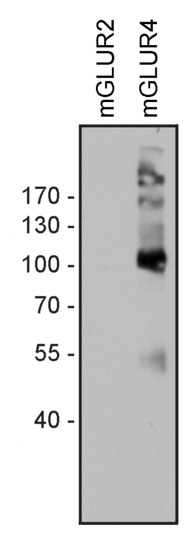 mGluR4 Rabbit anti-Human, Polyclonal, Invitrogen 100 μg; Unconjugated:Antibodies