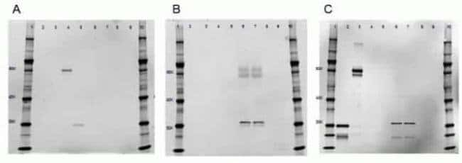 IgG (H+L) Cross-Adsorbed Goat anti-Rat, Alexa Fluor 647, Invitrogen 1mg;