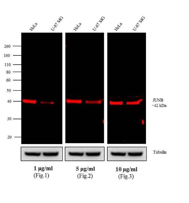 IgG (H+L) Cross-Adsorbed Goat anti-Rabbit, Alexa Fluor™ 680, Invitrogen™ 1mg; Alexa Fluor™ 680 Secondary Antibody Goat Anti-Rabbit