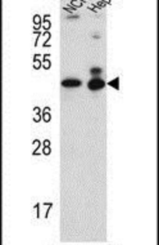 BAF53B Rabbit anti-Human, Polyclonal, Invitrogen 400 µL; Unconjugated