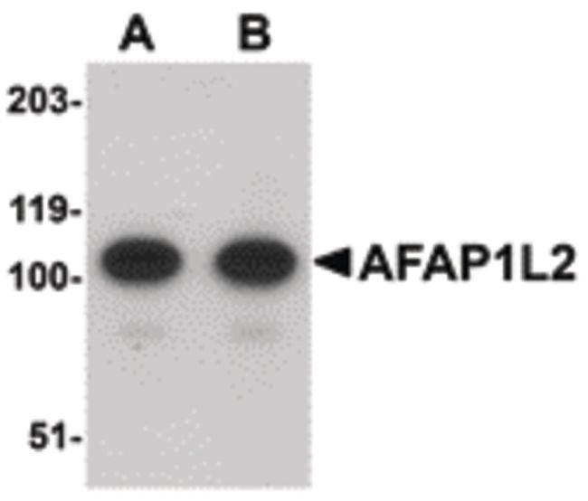AFAP1L2 Rabbit anti-Human, Mouse, Rat, Polyclonal, Invitrogen 100 µg;