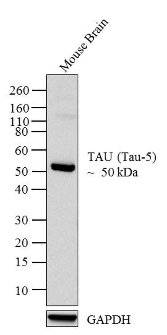 Tau Mouse anti-Bovine, Human, Mouse, Ovine, Rat, Clone: TAU-5, Invitrogen