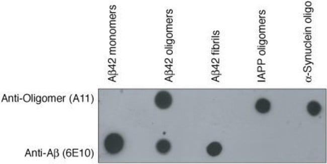 Oligomer A11 Rabbit anti-Human, Mouse, Rat, Polyclonal, Invitrogen   50