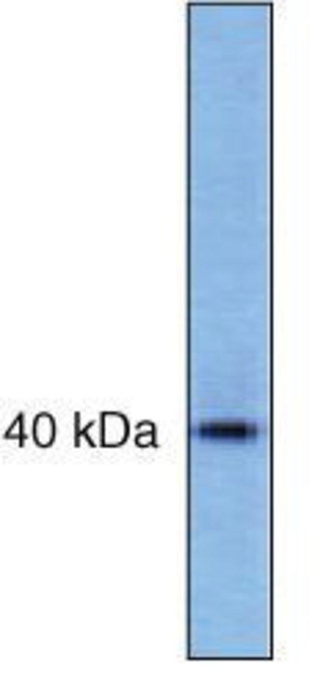 PRAS40 Mouse anti-Human, Clone: 73P21, Invitrogen   100 µg; Unconjugated
