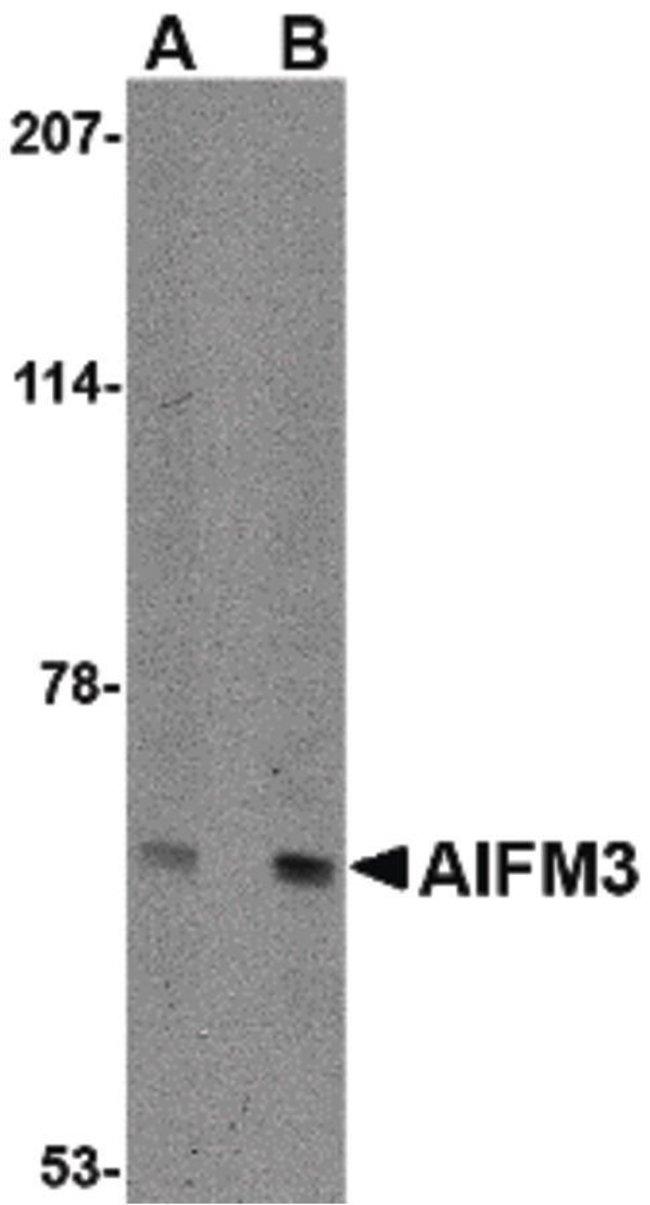 AIFM3 Rabbit anti-Human, Mouse, Rat, Polyclonal, Invitrogen 100 µg;