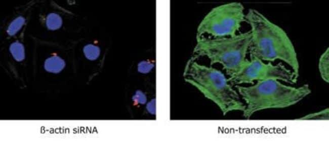 GAPDH Mouse anti-Amphibian, Canine, Chicken, Fish, Human, Mouse, Non-human primate, Rabbit, Rat, Clone: 6C5, Invitrogen™ 100 μg; Unconjugated Primary Antibodies G1 to Gb