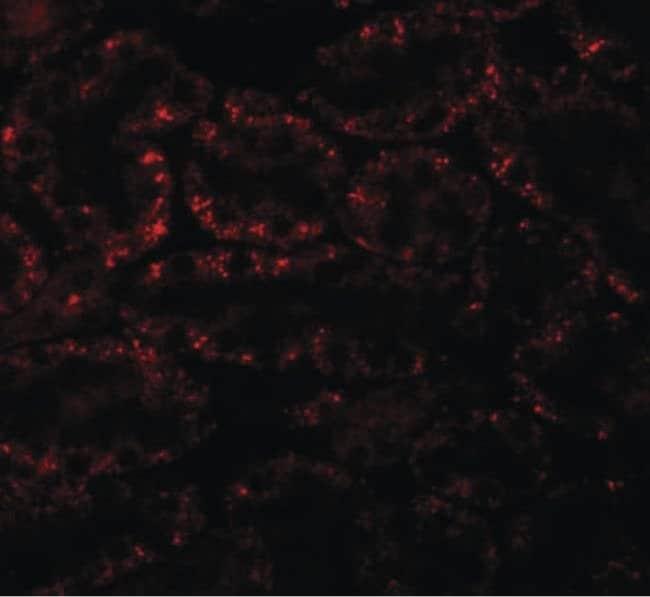 APC5 Rabbit anti-Human, Mouse, Rat, Polyclonal, Invitrogen 100 µg;