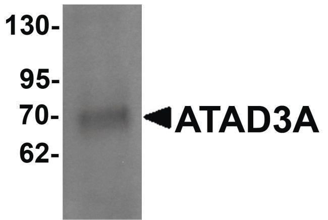 ATAD3A Rabbit anti-Human, Mouse, Rat, Polyclonal, Invitrogen 100 µg;