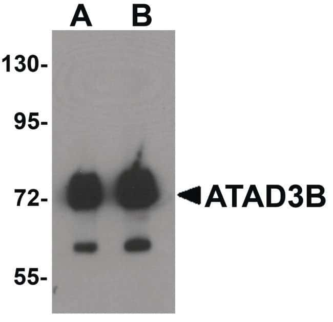 ATAD3B Rabbit anti-Human, Polyclonal, Invitrogen 100 µg; Unconjugated