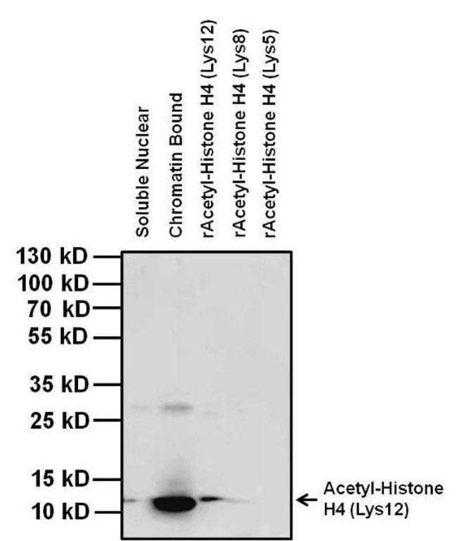 Acetyl-Histone H4 (Lys12) Mouse anti-Human, Clone: 3HH4-4C10, Invitrogen