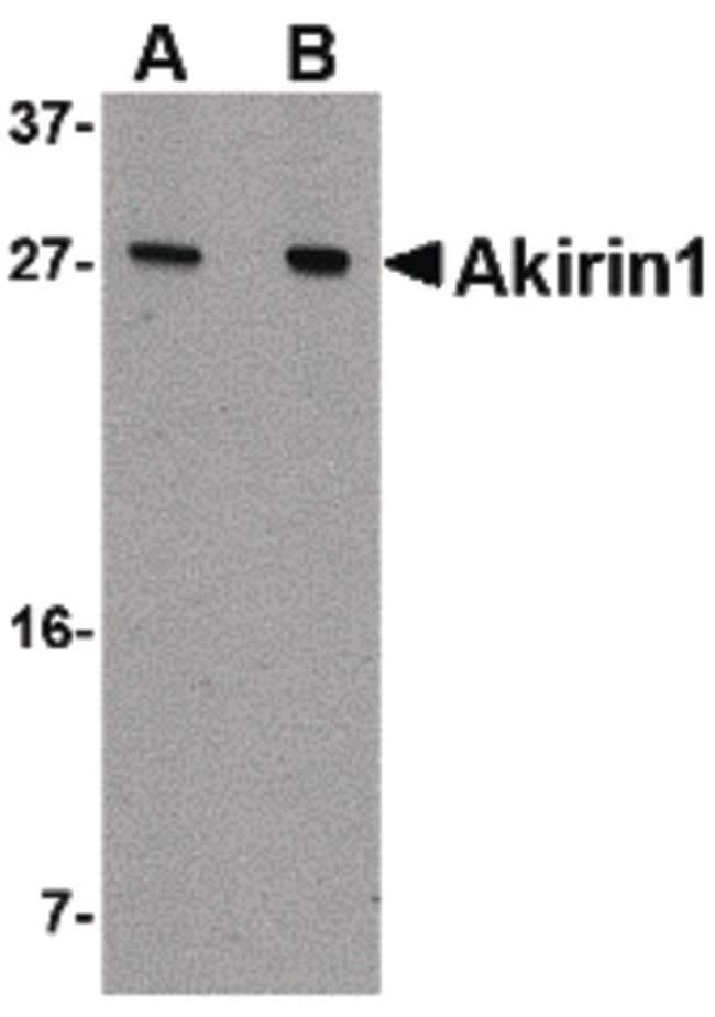 Akirin1 Rabbit anti-Human, Mouse, Rat, Polyclonal, Invitrogen 100 µg;