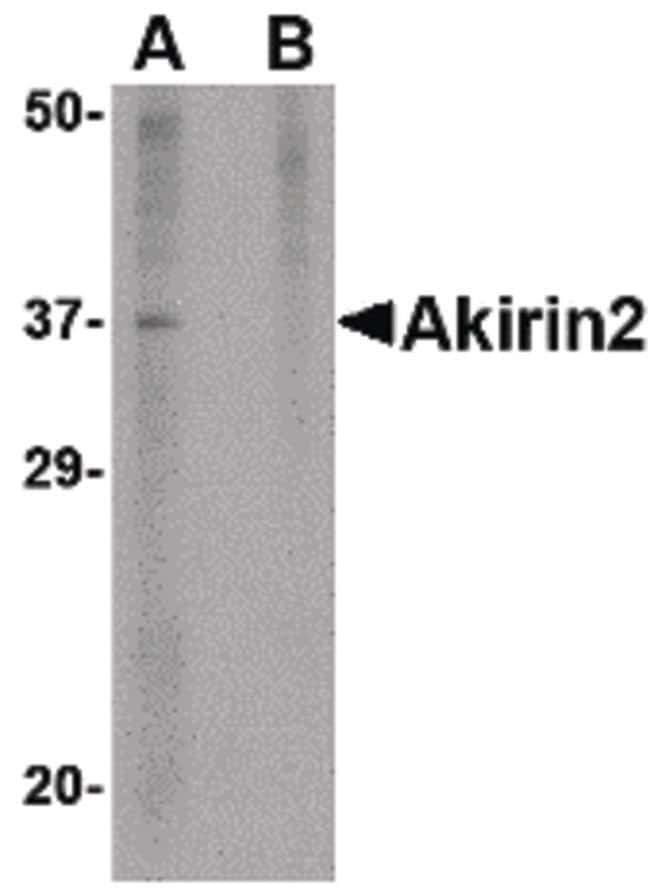 Akirin2 Rabbit anti-Human, Mouse, Polyclonal, Invitrogen 100 µg; Unconjugated