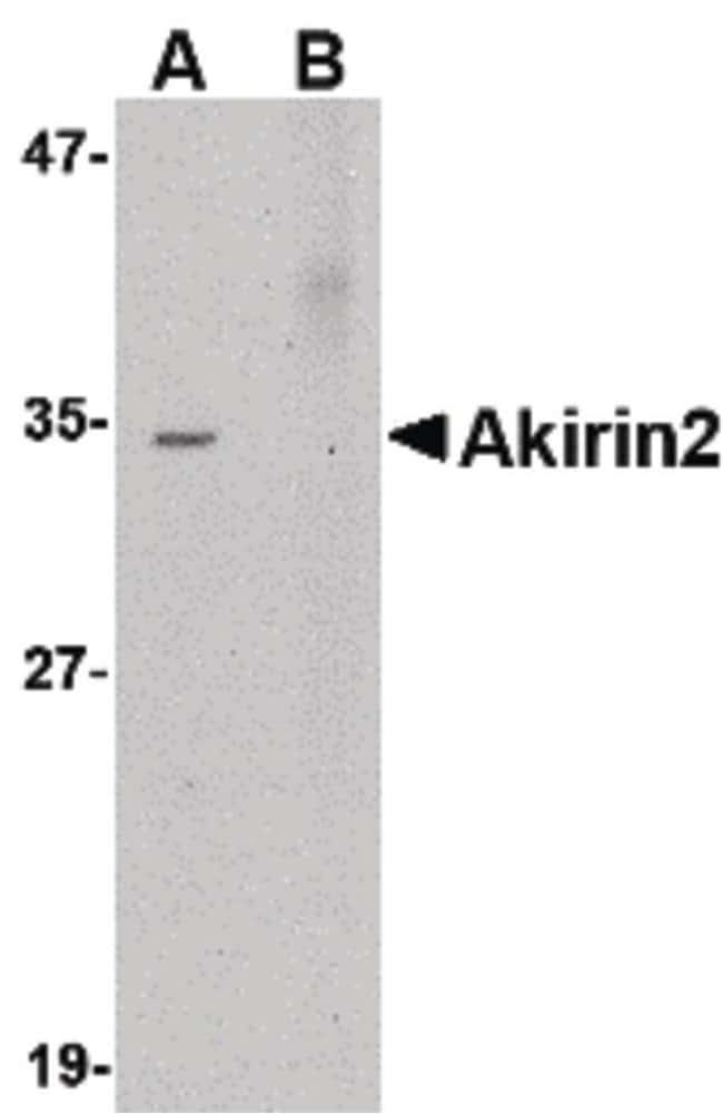 Akirin2 Rabbit anti-Human, Mouse, Rat, Polyclonal, Invitrogen 100 µg;