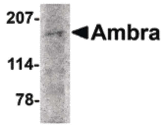 AMBRA1 Rabbit anti-Human, Mouse, Rat, Polyclonal, Invitrogen 100 µg;