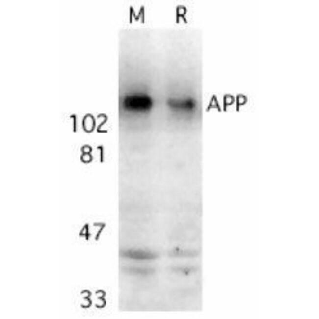 Amyloid Precursor Protein Rabbit anti-Human, Mouse, Rat, Polyclonal, Invitrogen