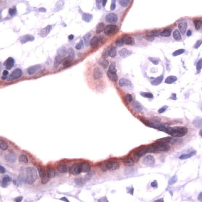 Annexin A1 Rabbit anti-Human, Polyclonal, Invitrogen 1 mL; Unconjugated:Antibodies
