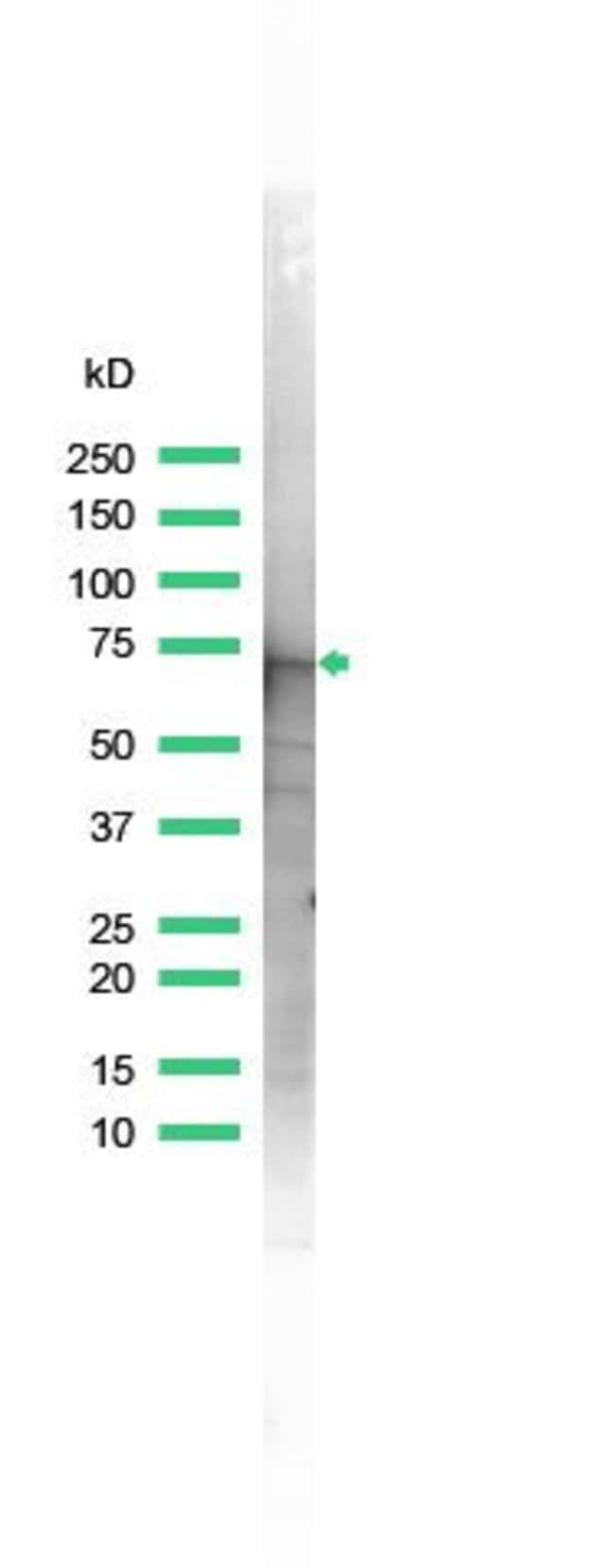 Annexin A6 Rabbit anti-Human, Polyclonal, Invitrogen 1 mL; Unconjugated:Antibodies