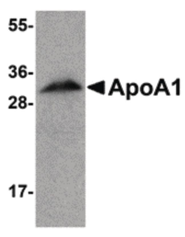 ApoA1 Chicken anti-Human, Mouse, Rat, Polyclonal, Invitrogen 100 µg;