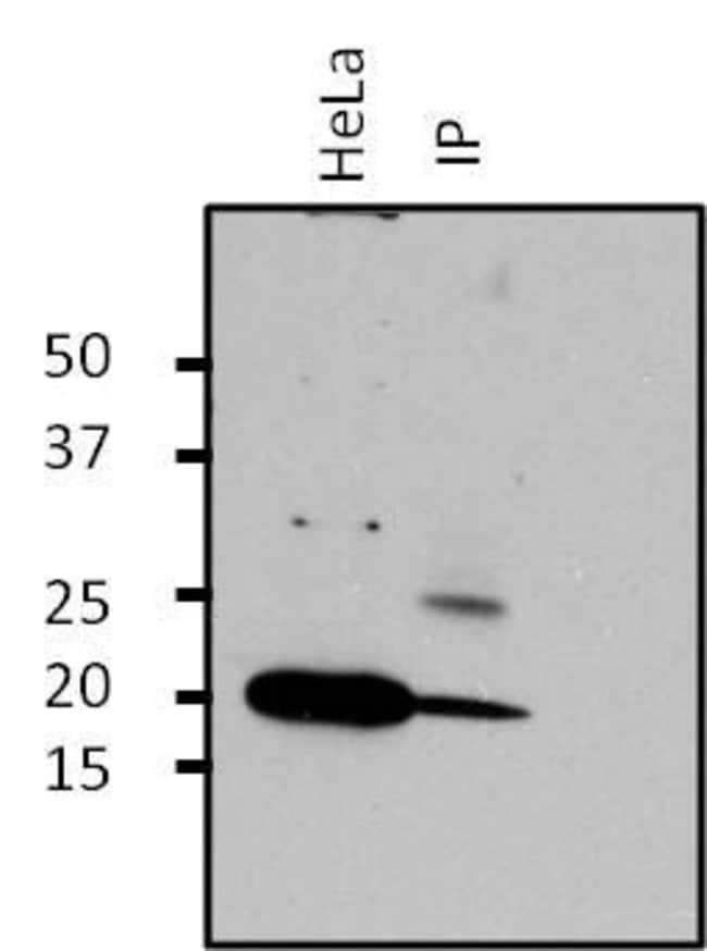 ARF1 Rabbit anti-Canine, Human, Mouse, Polyclonal, Invitrogen 100 µg;