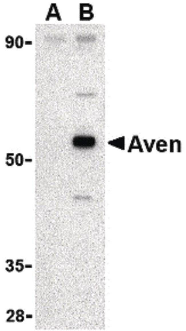 AVEN Rabbit anti-Human, Mouse, Rat, Polyclonal, Invitrogen 100 µg;