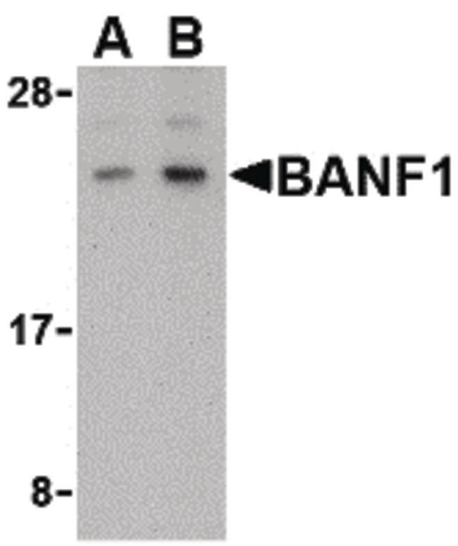 BANF1 Rabbit anti-Human, Mouse, Polyclonal, Invitrogen 100 µg; Unconjugated