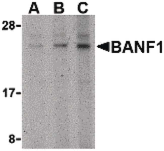 BANF1 Rabbit anti-Human, Mouse, Rat, Polyclonal, Invitrogen 100 µg;
