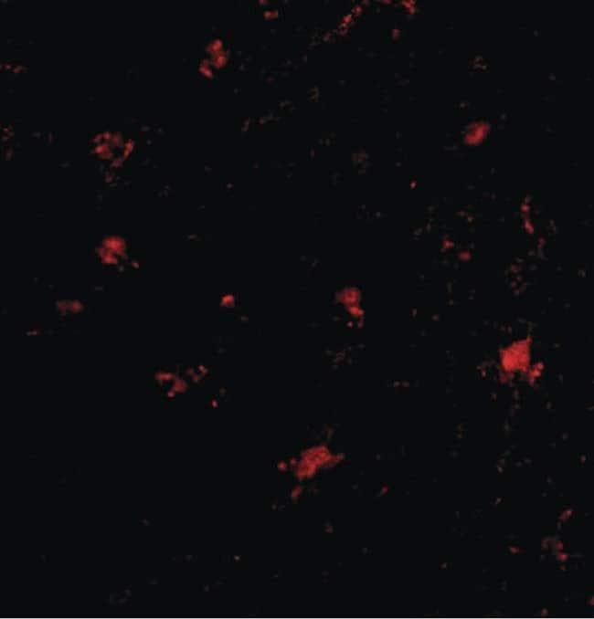 BAP3 Rabbit anti-Human, Polyclonal, Invitrogen 100 µg; Unconjugated