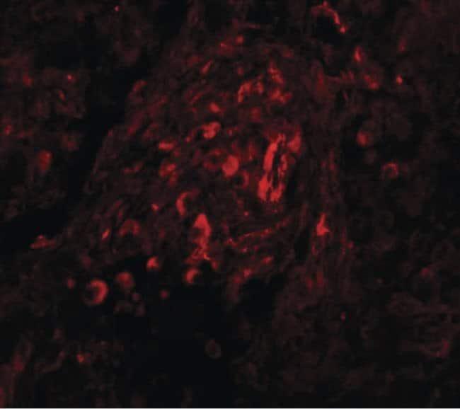 BCAS4 Rabbit anti-Human, Mouse, Polyclonal, Invitrogen 100 µg; Unconjugated