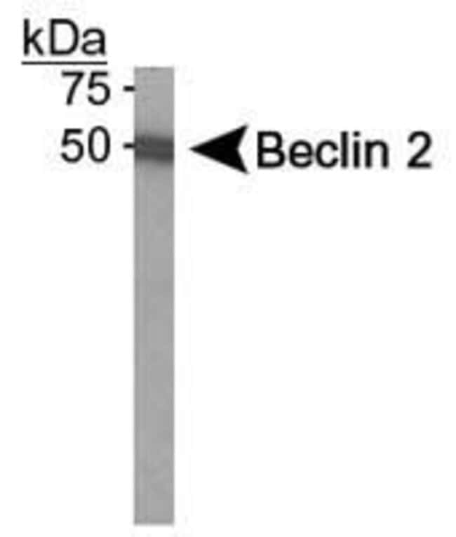 Beclin 2 Rabbit anti-Human, Polyclonal, Invitrogen 100 µL; Unconjugated