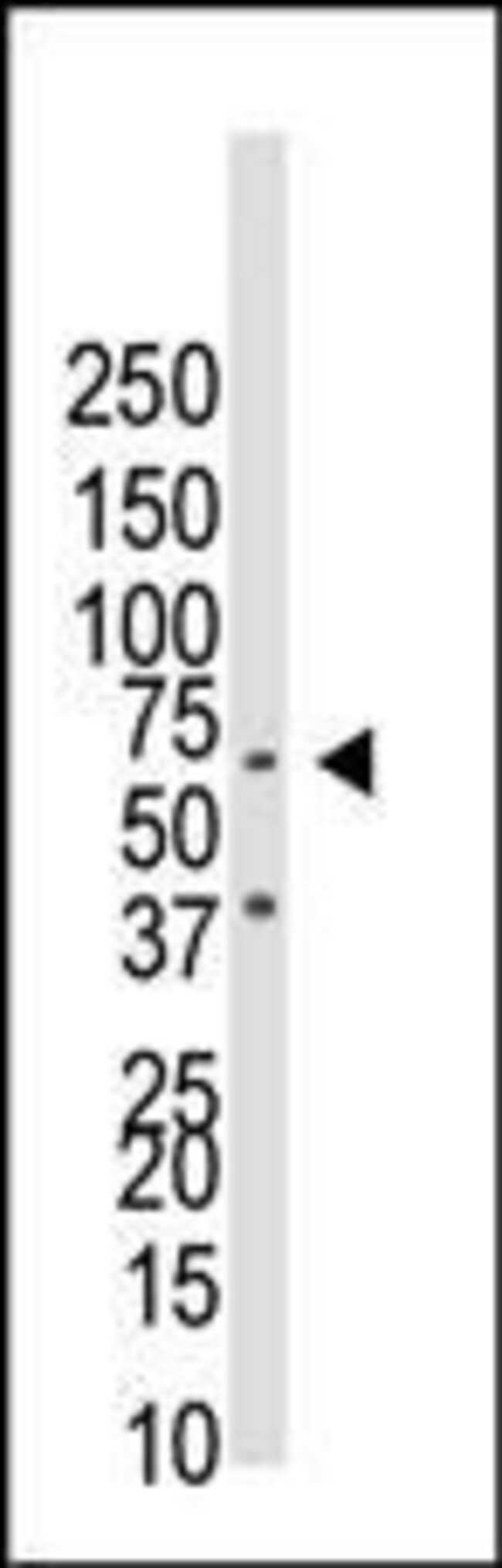 CDw293 Rabbit anti-Human, Mouse, Polyclonal, Invitrogen 400 µL; Unconjugated