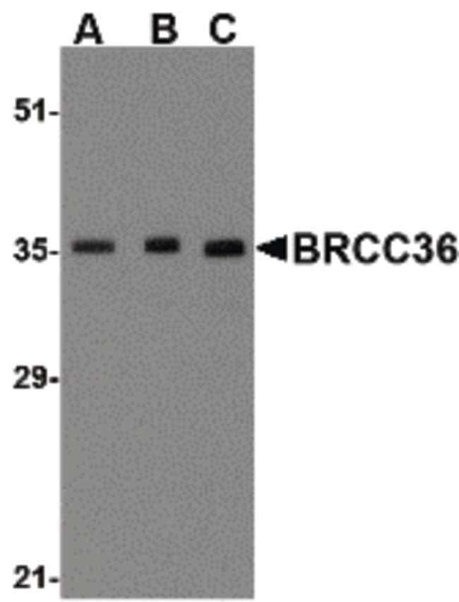 BRCC3 Rabbit anti-Human, Mouse, Rat, Polyclonal, Invitrogen 100 µg;