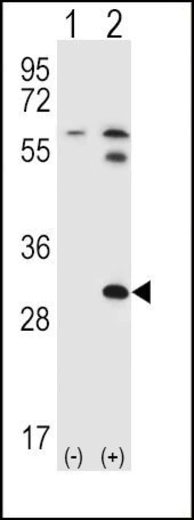 STAP1 Rabbit anti-Human, Mouse, Polyclonal, Invitrogen 400 µL; Unconjugated